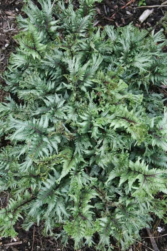 Athyrium niponicum Thrill Seaker HH Clone C (63814).cc
