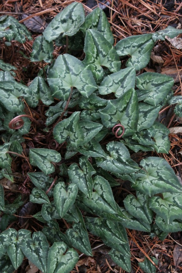 Cyclamen hederifolium Hansen's Fancy Leaves foliage