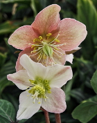 Helleborus 'Raulston Remembered'