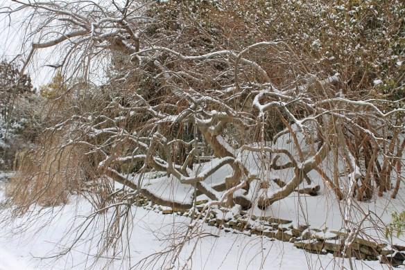 Celtis sinensis Green Cascasde in snow