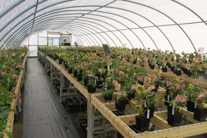 Greenhouse Filled with Hellebores