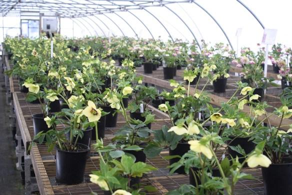 Hellebore open house greenhouses3