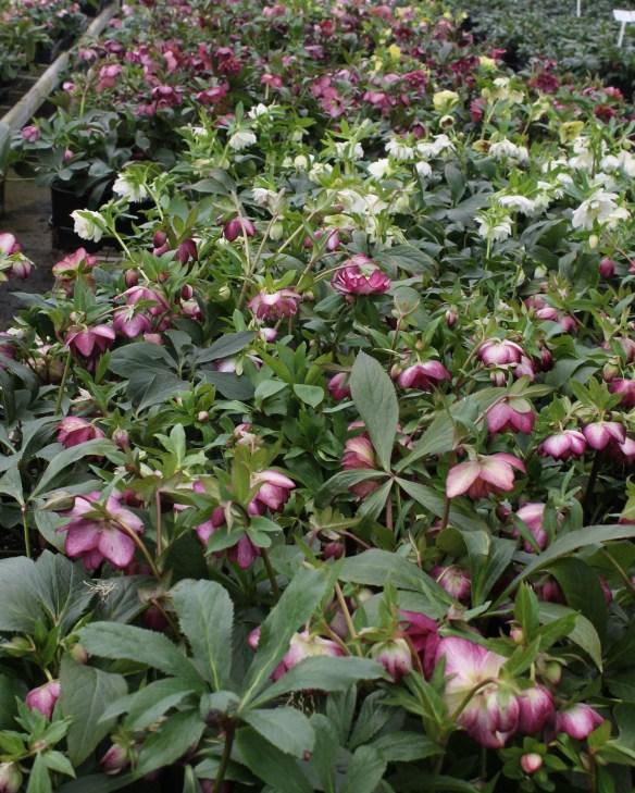 Helleborus x hybridus block in flower-ghse 17