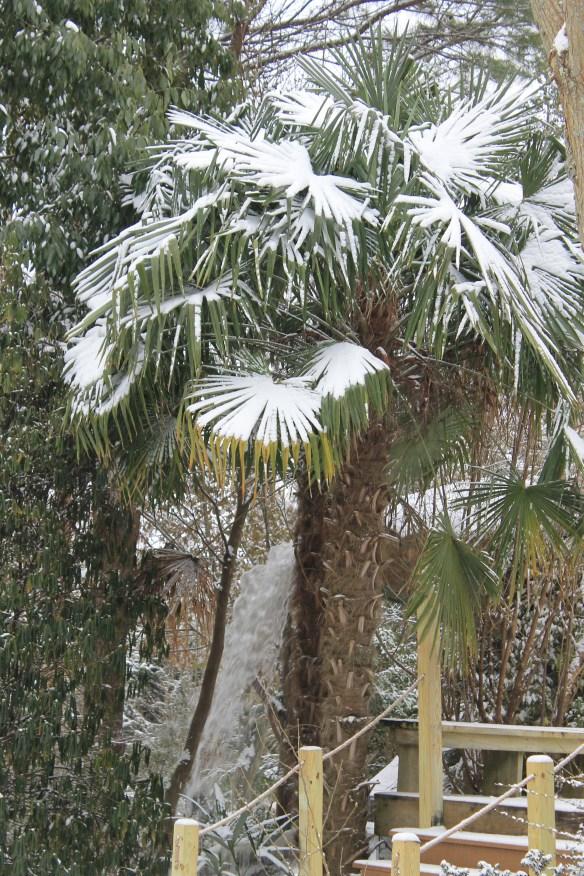 Trachycarpus fortunei in snow by Mystic falls