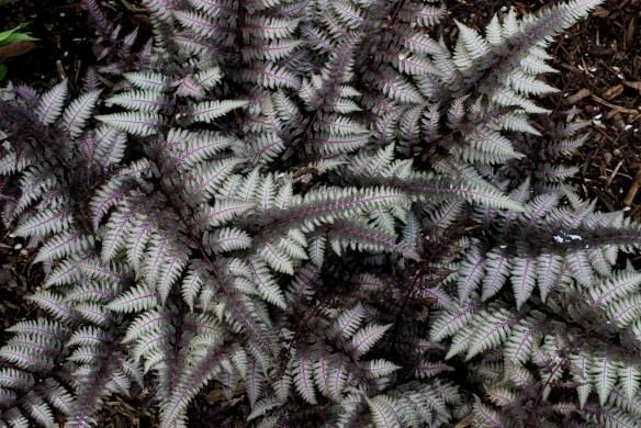 Athyrium nipponicum Burgundy Lace2