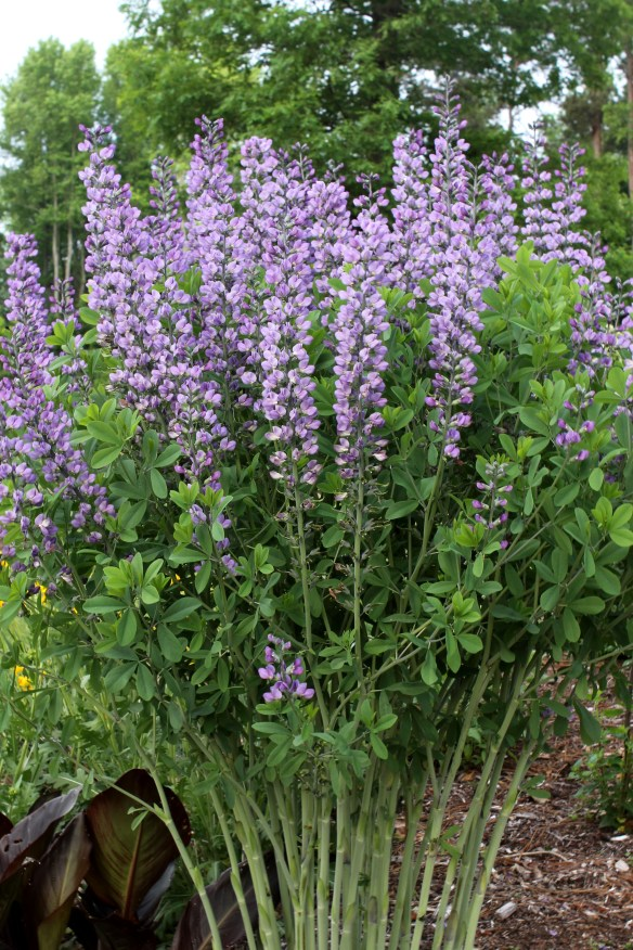 Baptisia Blue Towers21