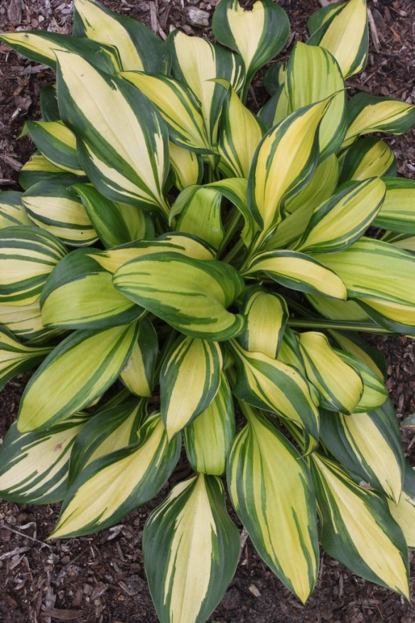 Hosta Rainbow's End5