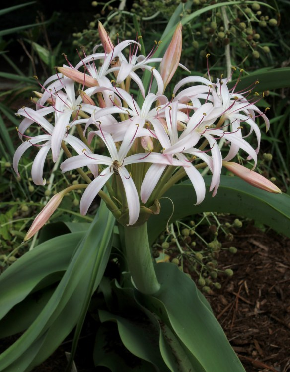 Crinum buphanoides in flower