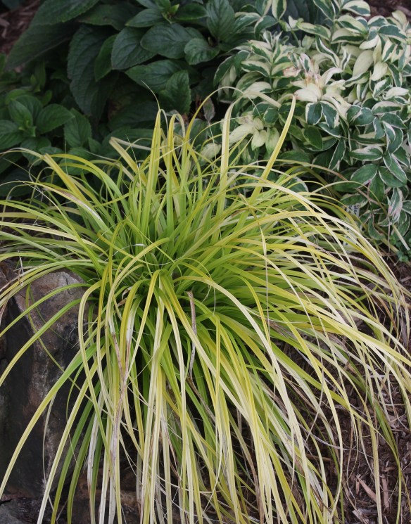 Carex oshimenis Everillo combo