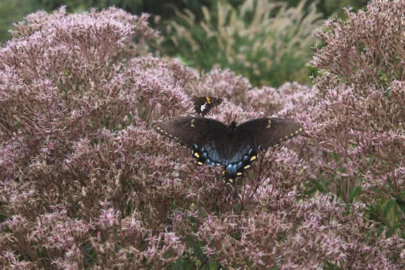 Eupatorium dubium with pipevine swallowtail