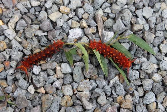 Pipevine swallowtail larvae on aristolochia