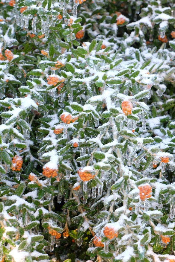 Grevelia Poorinda Leane in flower in ice