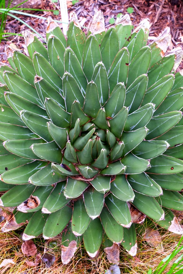 Agave victoriae-reginae PDN018 winter before flowering