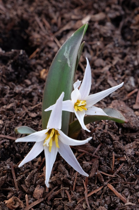 Erythronium mesochorum A1AR-037b in flower