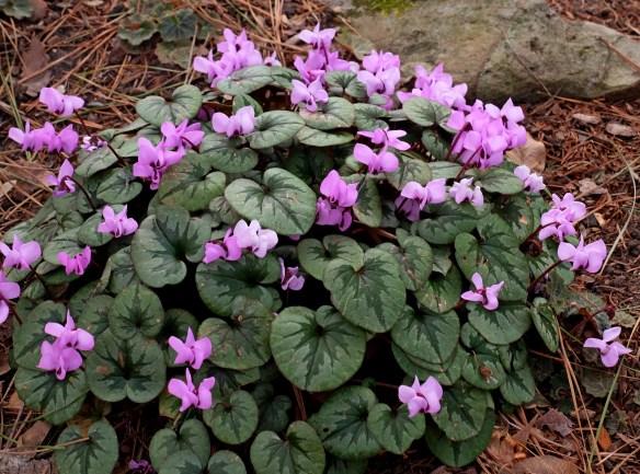 Cyclamen coum PDN008 in flower