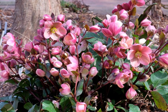 Helleborus x ballardiae HGC Pink Frost