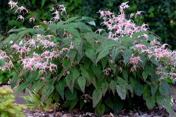 Epimedium Pink Champagne clump in flower
