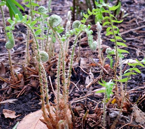 Polystichum acrostichoides unfurling