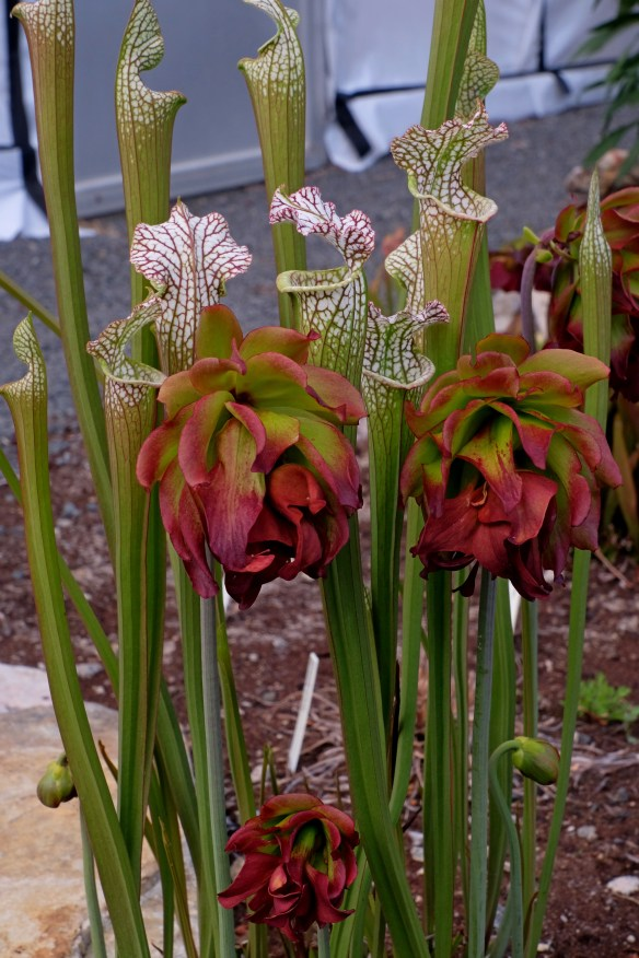 Sarracenia leucophylla Tarnock in flower with pitchers