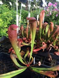 picture of Sarracenia 'Bug Bat' for sale at Plant Delights Nursery