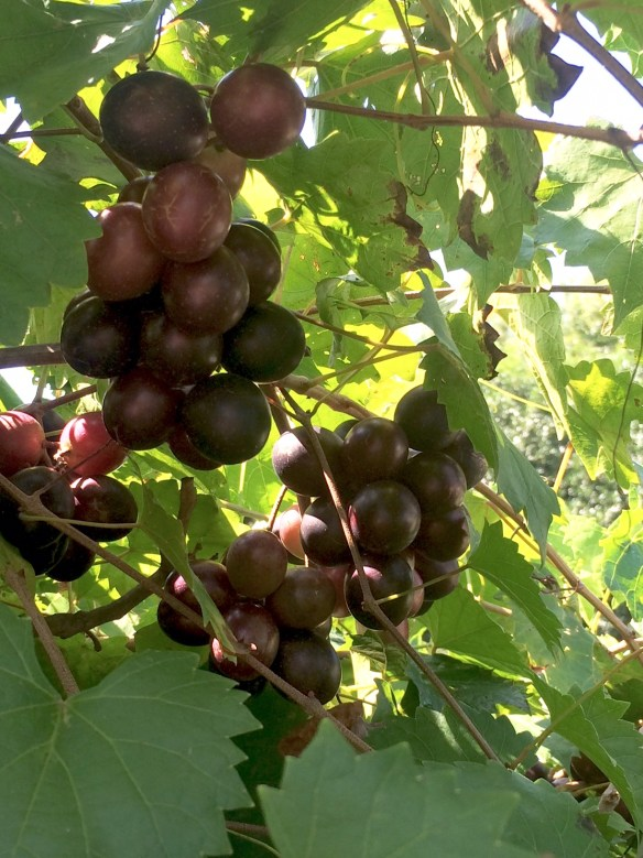 picture of Ison muscadine grapes
