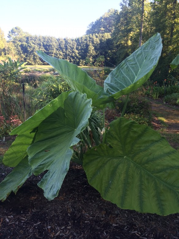 picture of Colocasia Thailand Giant in the garden