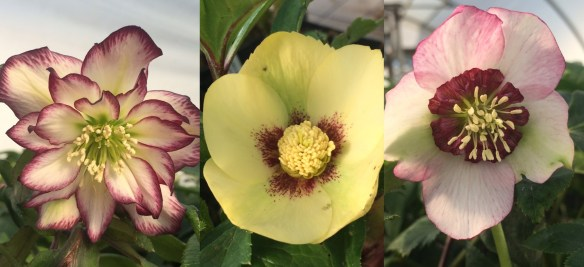 pictures of Hellebores being released soon