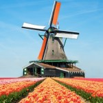 Windmill and tulips Netherlands