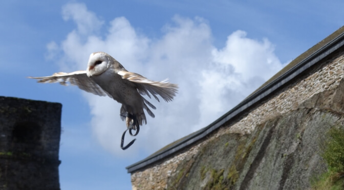 An owl flies from the roof of Bouillon Castle, Wallonia