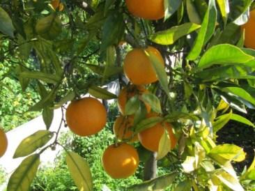 oranges amères non traitées
