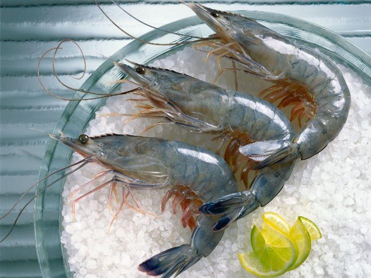 Obsiblue - gambas bleue de Nouvelle-Calédonie