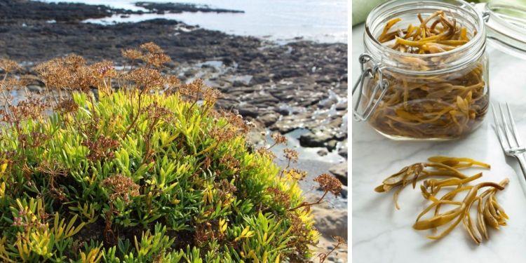 Salicorne dans son milieu naturel et conservée en conserve.