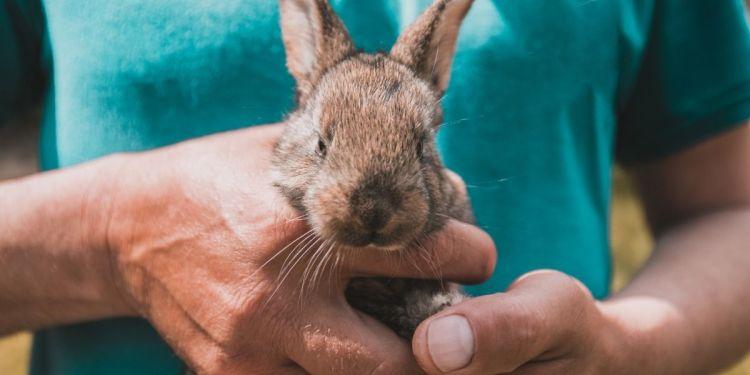 L'élevage de lapins fermiers en France, loin des standards industriels.