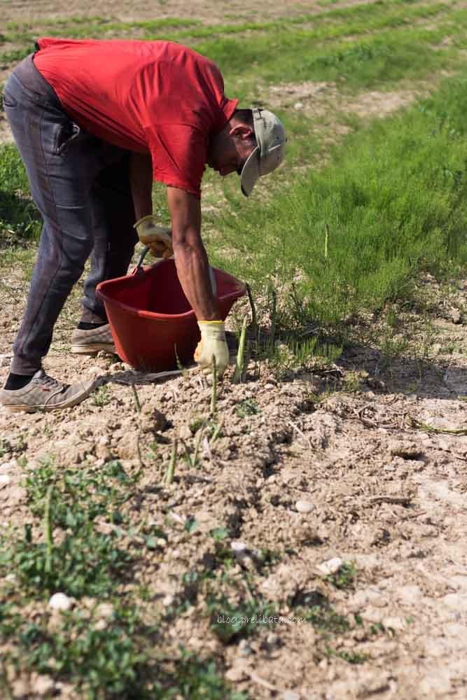 asparagi Igp di Badoere