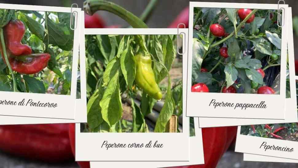 peperone-varietà-ricette-storia-feste