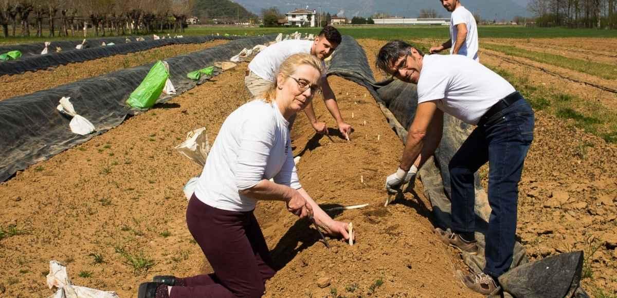Raccolta degli asparagi bianchi agriturismo La Gramola di Isola Vicentina