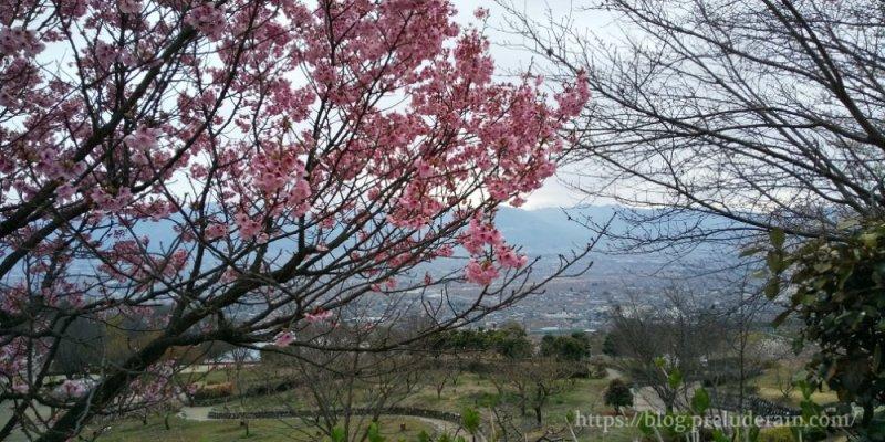 山梨県笛吹川フルーツ公園)桜