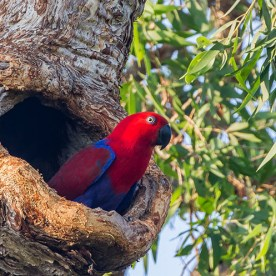 A female eclectus parrot peers from a tree hollow