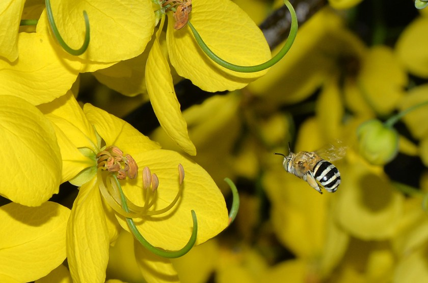 Blue banded bee approaching yellow flowers