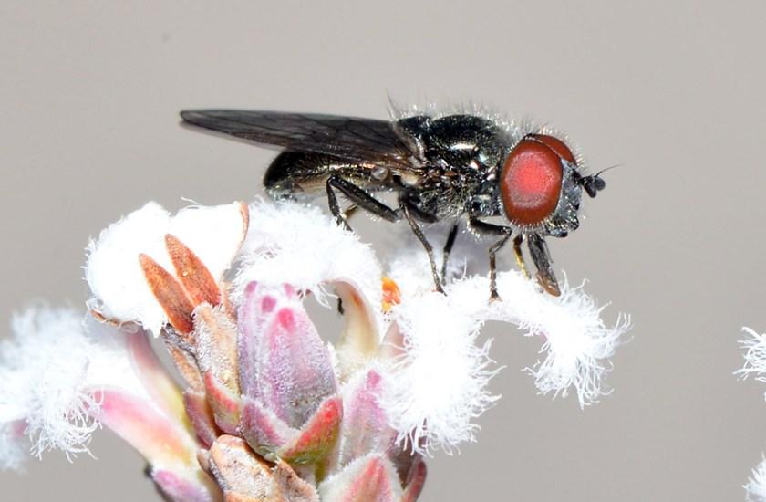 Hover fly feeding on flower