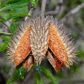 An Australian Teak seed hanging from a branch
