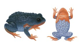 Side view and underbelly illustrations of a blue-black frog with bumpy skin and orange feet and chest.