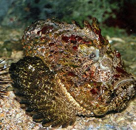 Photo of a brow stonefish camouflaged on seafloor