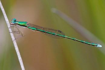 An eye-catching metallic green damselfly clinging to a thin reed.