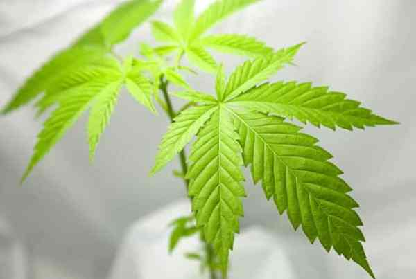 Marihuana for Medical Purposes Regulations MMPR Consulting