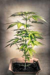 Maryland Marijuana Consulting