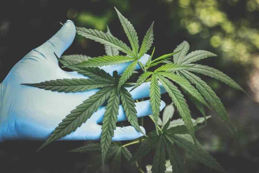 marijuana vote