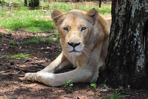 Leona blanca en Johannesburgo