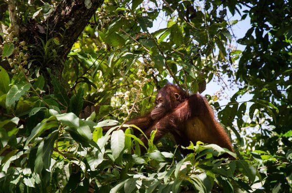 Orangutanes en Danum en Sabah