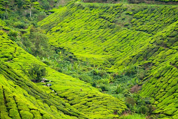 Plantaciones té en Langkawi